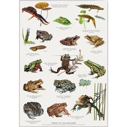 アート ポスター A2 サイズ KOUSTRUP & CO. - Frogs, toads and salamanders カエル ヒキガエル サンショウウオ