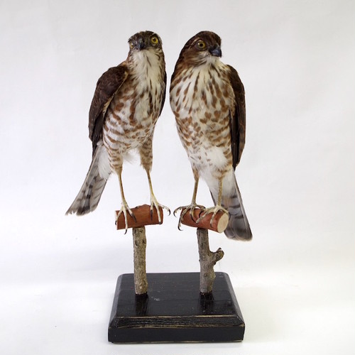 ツミ 剥製2羽セット