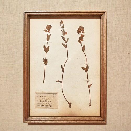 植物標本 1929 vintage 18MAR-VSH06