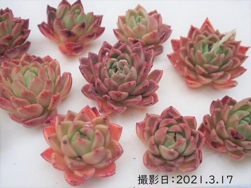 【新品種】ショコラブリック 韓国苗 多肉植物