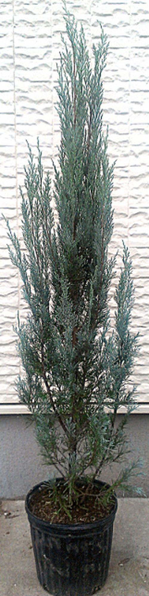 コロラドビャクシン【ウィチタブルー】樹高約110~120cm