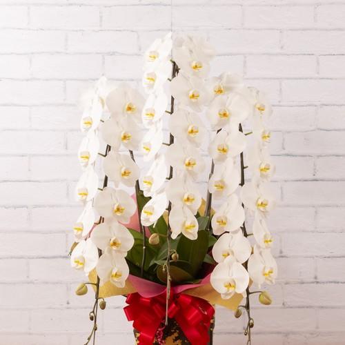 胡蝶蘭〈特選〉白花 3本立 大阪市内無料配送エリアあり 祝い花