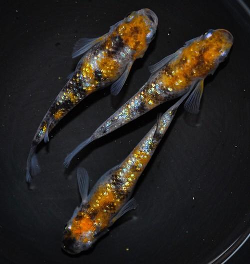 三色ラメ(強ラメ)稚魚 30匹  ikahoff P-0605-3535-c