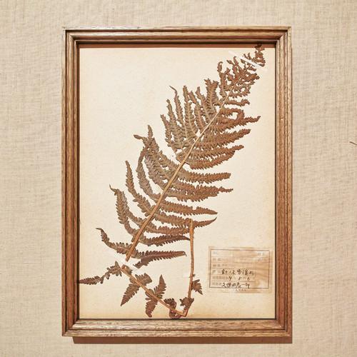 植物標本 フレーム 1929 vintage 18MAR-VSH03