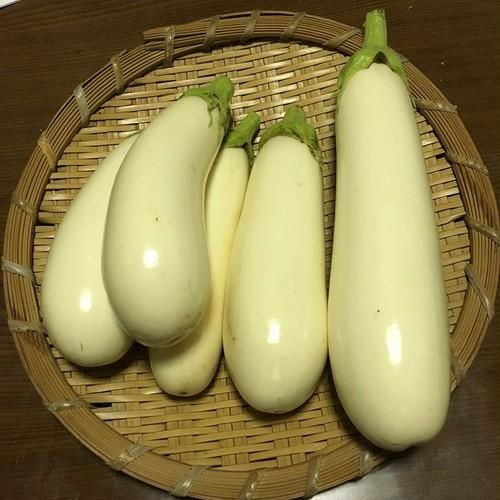 スノーウィ / Snowy (Eggplant)
