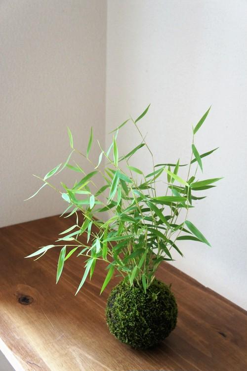 苔玉 姫竹