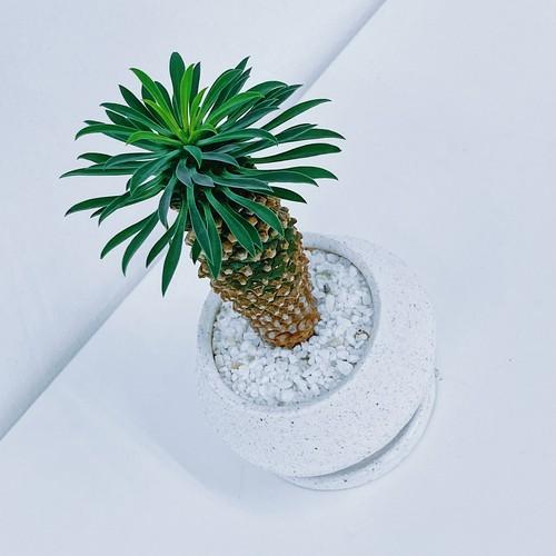 ユーフォルビア・怪魔玉 Euphorbia KAIMAGYOKU