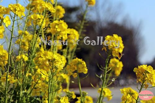キラキラした菜の花~Nanohana that shining~③