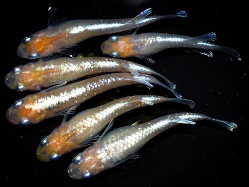 *伊香保FF BASE限定* 鱗光紅白 (2021年産まれ)稚魚 20匹 ikahoff U-0413-8397-c