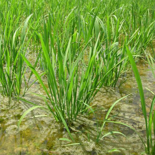 ササニシキ玄米1キロ(平成29年産自然栽培米)