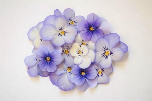 <Light blue>パンジー・ビオラ