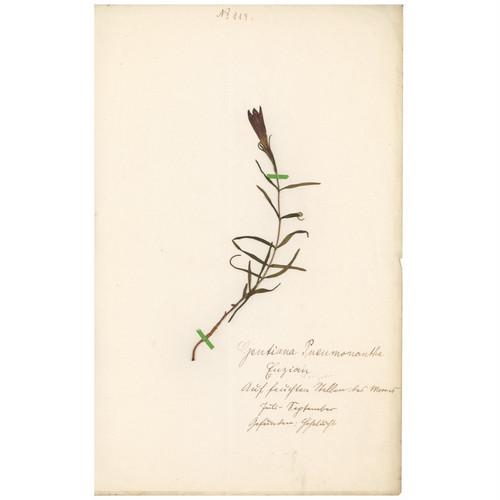 ドイツの古い植物標本 062