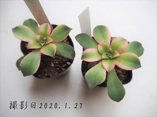 多肉植物 夕映え ユウバエ(アエオニウム属)いとうぐりーん 産直苗 2号