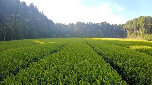 《お茶の定期便》お茶のある暮らし「毎月おすすめのお茶をお届けします」