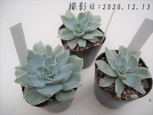 多肉植物 シルバークイーン(エケベリア属)いとうぐりーん 産直苗 2号