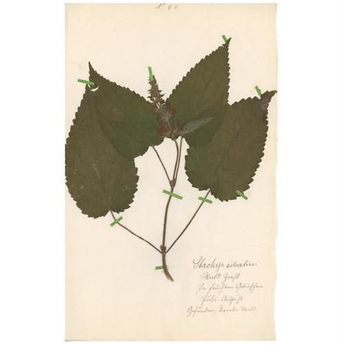 ドイツの古い植物標本 119