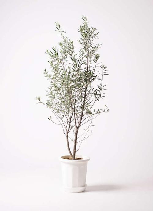 観葉植物 オリーブ 10号 チプレッシーノ プラスチック鉢