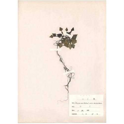 日本の古い植物標本 001