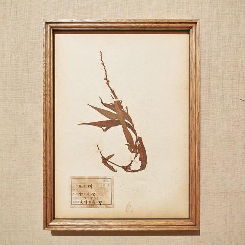植物標本 1929 vintage 18MAR-VSH37