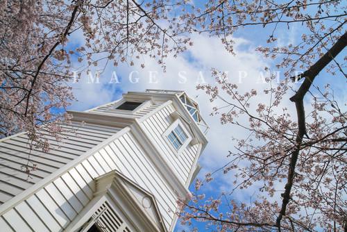 境港お台場公園の桜