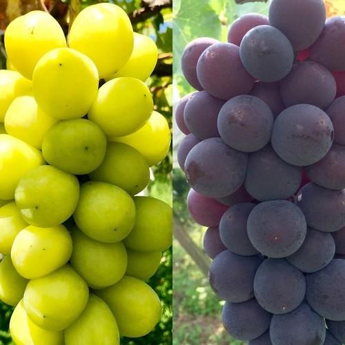 シャインマスカット&季節の葡萄2種 プレミアムセット2㎏相当