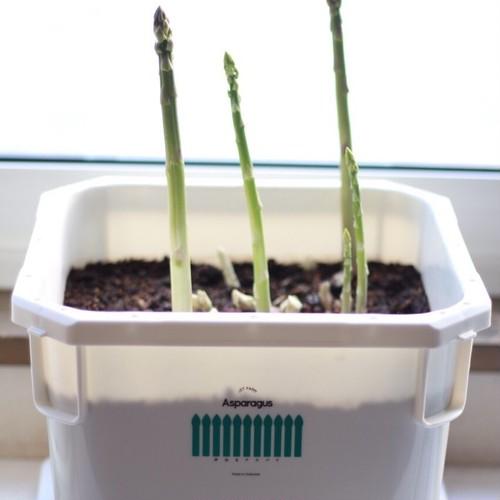 真冬におうちでアスパラ栽培!夢見るアスパラ