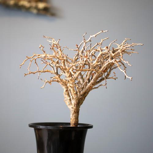 マダガスカル盆栽