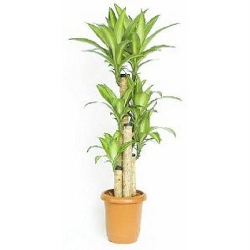 ドラセナマッサンゲアナ(幸福の木) 10号鉢