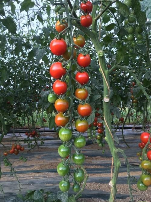 ミニトマト3kg 通年除草剤化学農薬不使用