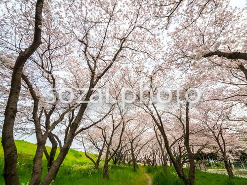 写真素材(桜-4026098)