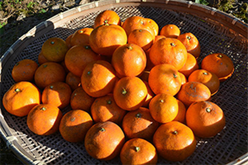 【送料お得!】皮ごと食べられる温州みかん『金の蜜柑』5kg×2 【酸味と甘さの黄金比率】