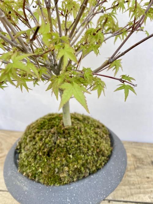 【送料無料】清姫 紅葉 もみじ 盆栽 一点物 苔 陶器鉢 趣味 コレクション ルル盆