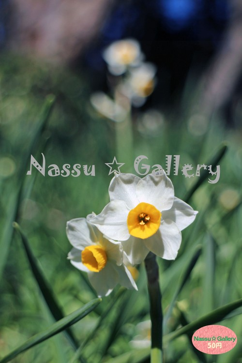 いつもの公園で咲く水仙~Daffodils that bloom in the usual park~③
