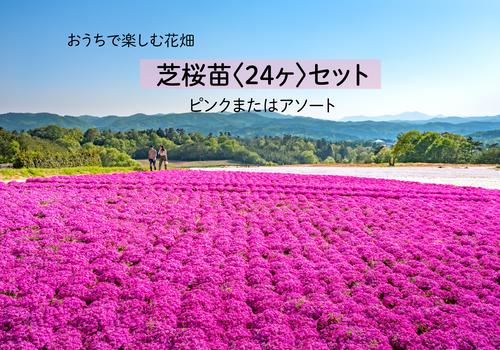 【おうちで楽しむ花畑】芝桜苗24ヶセット