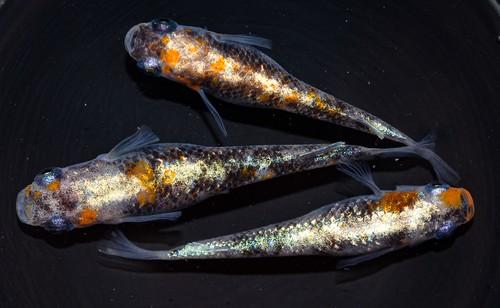 *伊香保FF BASE限定* 三色体外光 (2021年産まれ)稚魚 20匹 ikahoff U-0412-8405-c