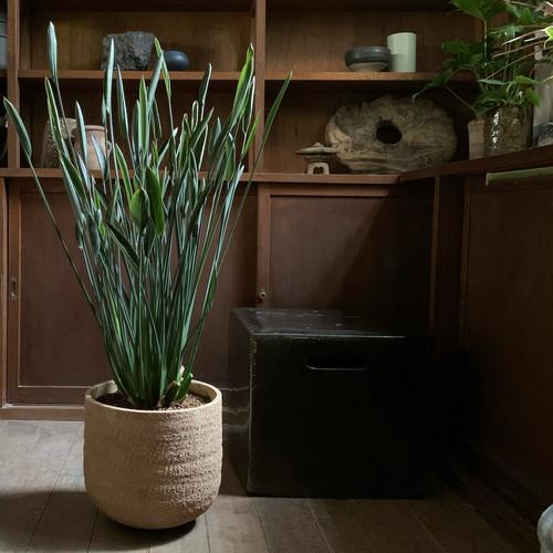 観葉植物 ストレリチア・パルビフォリア