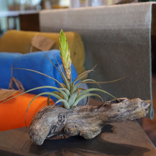 DRIFTWOOD TILLANDSIA Natural