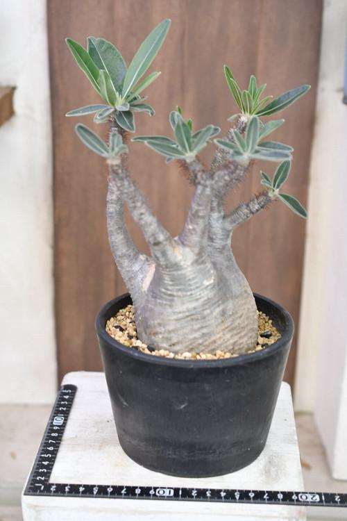 TK-22  グラギリス パキポディウム グラギリス Pachypodium Gracilius