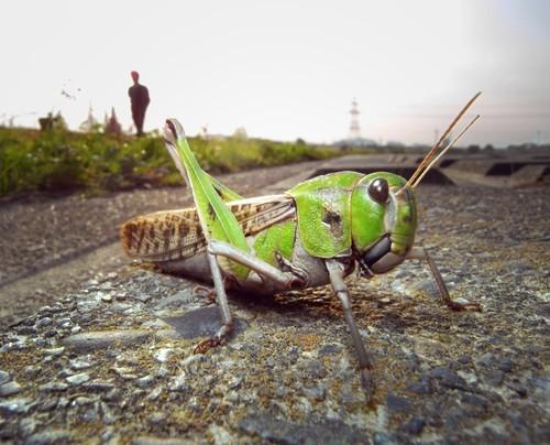 糸崎公朗『自然(=芸術)は都会の中にある:トノサマバッタ/稲城市』R8353939