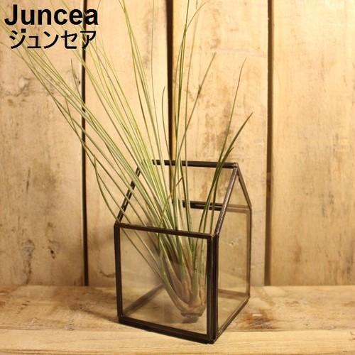 エアプランツ Juncea