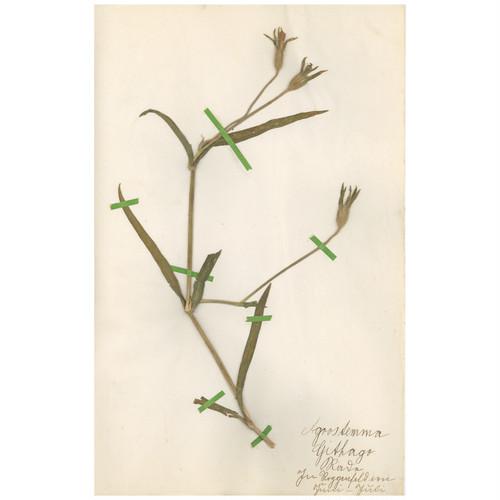 ドイツの古い植物標本 067