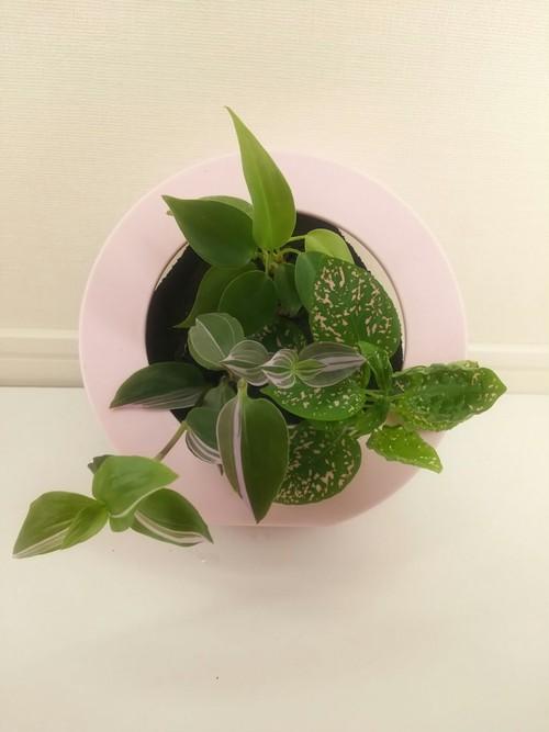 壁掛け観葉植物ミドリエ 限定イチゴミルク色!BASEのみの数量限定品(ワケあり)A