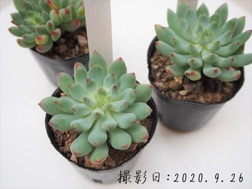 多肉植物 ブルーエルフ(セデベリア属)いとうぐりーん 産直苗 2号