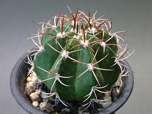 Melocactus matanzanus メロカクタス マタンザナス 魔雲