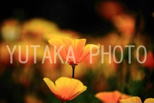 写真(オレンジポピー)