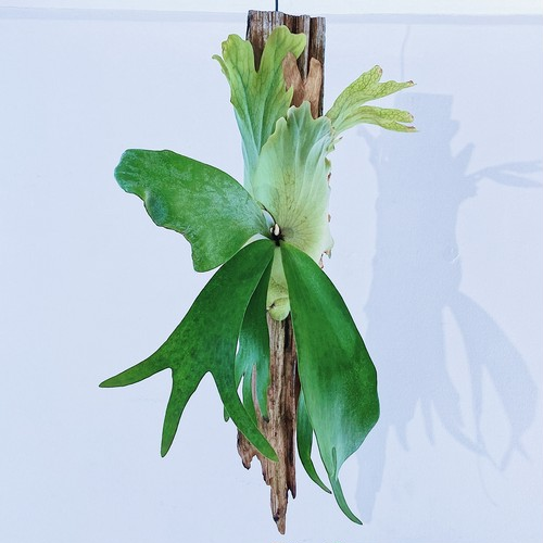 【order_HI様】ビカクシダ ウィリンキー 流木着生 P. willinckii Bogor + wood made by Nukul ① 9/24