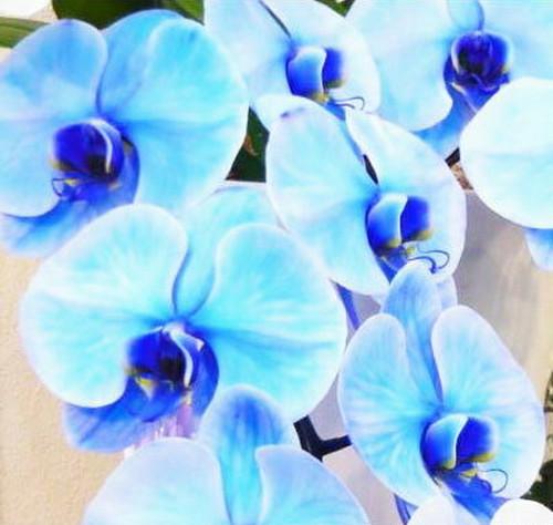 青色の胡蝶蘭 ブルー エレガンス 2本立ち