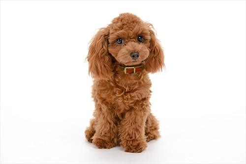 【JEXT】京都西陣織 犬の首輪 本革 首周り18~24cm 武田菱 朱