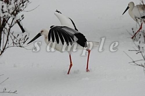 コウノトリ写真(ダウンロード)「雪中お散歩」