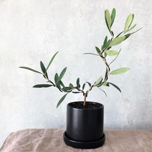 オリーブ盆栽 ネバディロ・ブランコ(PS27)
